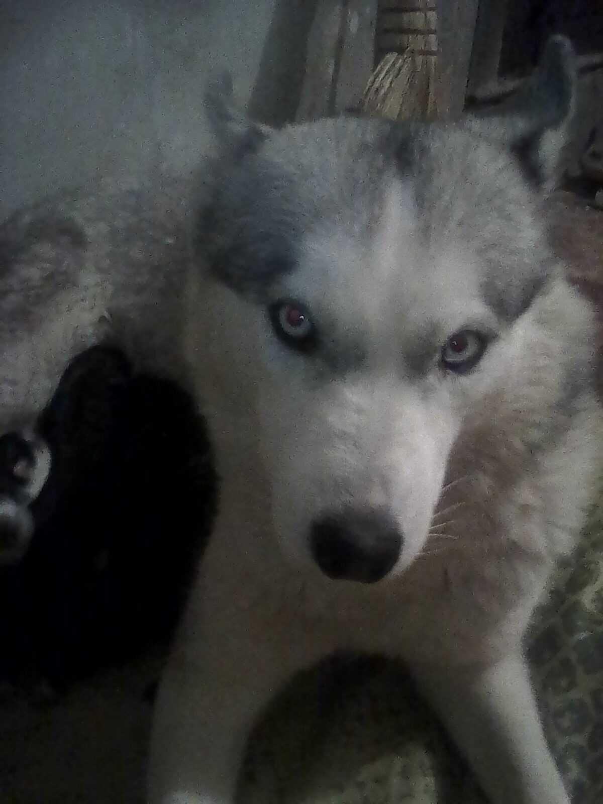 Акира, собака найдена в Ставрополе щенная, ощенилась в приюте