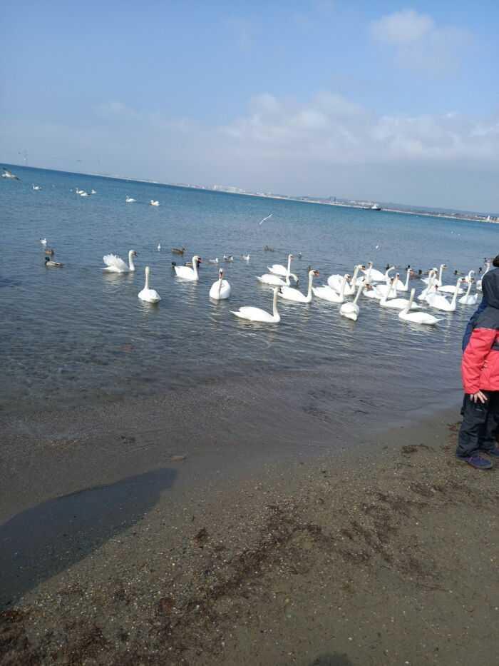 на фото море,лебеди